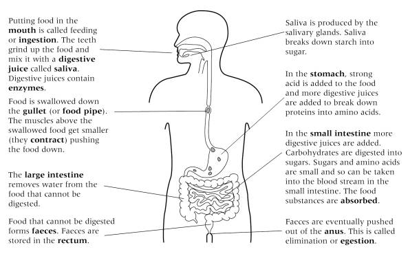 New Page 2 – Digestive System Worksheet High School