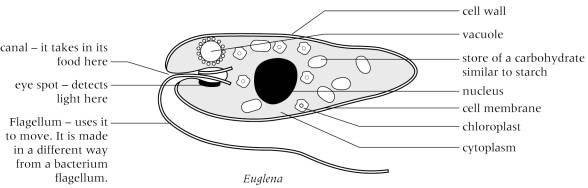Euglena Diagram Unlabeled | Free Here